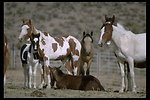 Colorful Pinto Wild Horses at Burns Wild Horse Corrals in South Steens Horse Management Area.
