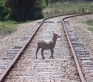 I was wantering along a railway track when I saw a sheep that had wandered off, and took a photo. Yet more proof that a sheeps will in life is to die. Note also the heat waves distorting the background of the image.