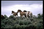 Wild horses in the South Steens HMA.