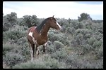A Pinto Stallion in the South Steens HMA.
