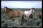 South Steens wild horses on the range.