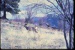 Mule Deer on Flagstaff Mountain in Stevens County, Washington.