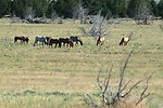 Kiger horses roam the plateaus of the Kiger Wildhorse Herd Management Area near Steens Mountain in Southeastern Oregon.