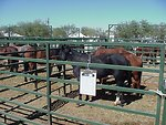 Horses waiting to be adopted at Camp Verde.