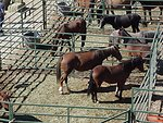 Wild horses ready to be adopted at the Wild horse and burro adoption in Camp Verde.