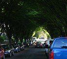 Taken by Martin Mullan, May 13, 2006. Photo of street trees in East Vancouver, British Columbia, Canada