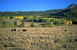 Aspen trees turning color in the Centennial Valley