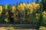 Aspen grove turning to fall colors--some Douglas fir encroachment