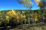 Aspen turning to autumn colors