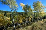 Aspen trees turning to fall colors