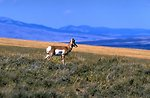 Antelope on a grassy hillside with Centennial Valley in background