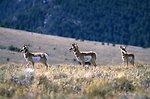 Antelope on sage grass hillside with forest in background