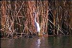 Great Egret relaxing at Ferguson Lake.