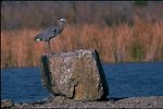 A Great Blue Heron perched on a rock at Mittry Lake.