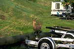 A deer close to a recreational vehicle at Holter Dam