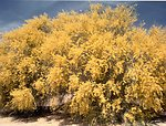 A palo verde tree in full bloom right before a desert storm.