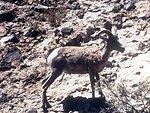 Desert Bighorn Sheep posing for the camera
