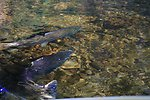 Adult Chinook Salmon spawning in Upper Tioga Creek, 11/8/01.  Gravel bar created by boulder weir constructed to improve habitat.