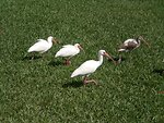 Ibises along the New River in Fort Lauderdale, FL