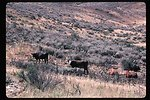Grazing Cows  Rangeland  Four Rivers Field Office  LSRD  Lower Snake River District