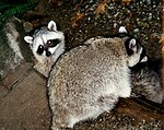 Raccoons (Procyon lotor).