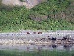 Mama bear with two cubs - Alaska brown bears - Ursus arctos.
