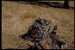Screech Owl  Birds of Prey National Conservation Area  BOP  Owyhee Field Office  LSRD  Lower Snake River District