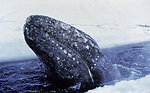 Gray whale trapped in the ice in the Bering Sea. Joint American-Russian effort ultimately saved 2 out 3 trapped whales.