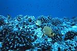 Chaetodon miliaris - butterfly fish over healthy Porites lobata coral reef.