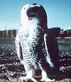 Snow owl.