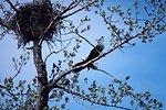 Bald Eagle - Haliaeetus leucocephalus.