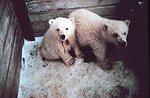 Orphaned polar bear cubs - Ursus maritimus - being sent to zoo.