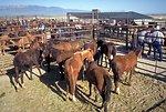 Utah Annual Wild Horse Festival