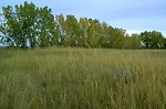 Tall grass and cottonwoods along the Yellowstone River
