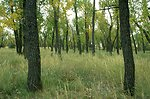 Cottonwood trees at the confluence of the Yellowstone and Powder Rivers