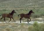 Wild horses, Rock Springs Field Office.