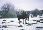 Winter feeding of moose in the Pindale Field Office Area.