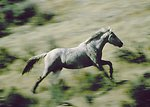Wild horse running on public lands in Wyoming.
