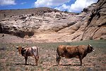 Livestock in the San Rafael Swell.