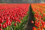 Tulip fields