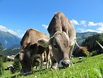 Cows cow pasture austria
