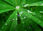 Lupine leaf
