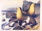 Water color of Arctocephalus gazella, the southern fur seal.