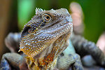 Lizard up close