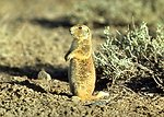 "Prairie dogs are stocky burrowing rodents that live in colonies called ""towns.""  All species of prairie dogs are found in grassland or short shrubland habitats."