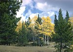 The Aspen, is a decidous tree, loosing it's leaves each fall.
