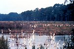 ACE Basin National Estuarine Research Reserve.  An impoundment on Bear Island with many great egrets and common egrets.