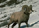 Big horn sheep on mountain site.