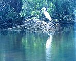 A Great Egret along the bank of the Patuxent River.
