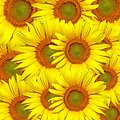 Sunflowers background wallpaper